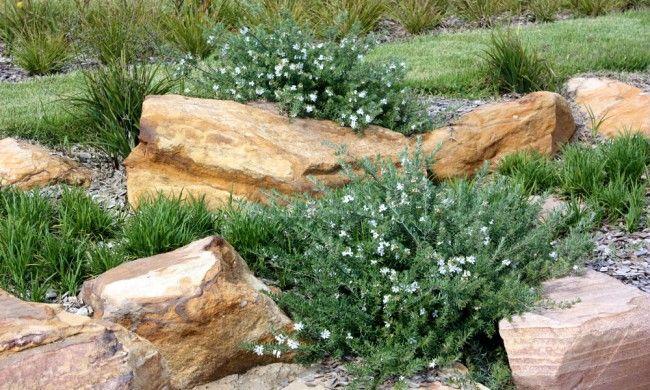 Westringia fruticosa Mundi | Westringia fruticosa 'Mundi' Is a hardy groundcover plant ...