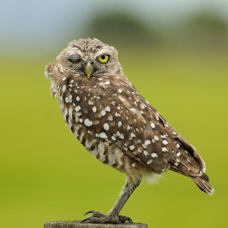 17 Best images about Owls closing one eye on Pinterest ...