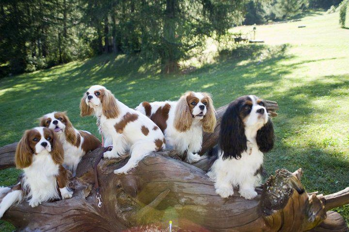 Cavalier King Charles Spaniel family playing in the park