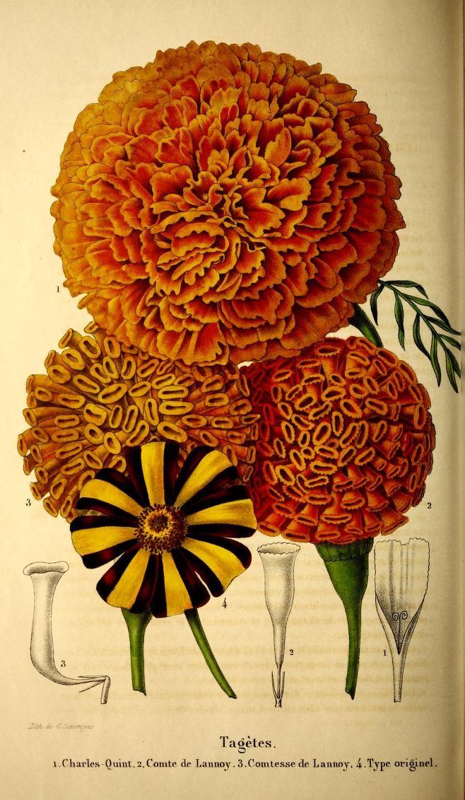 1851 botanical illustration, floral