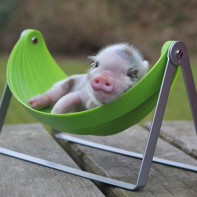 This one is so cute. - Little pig in a hammock.