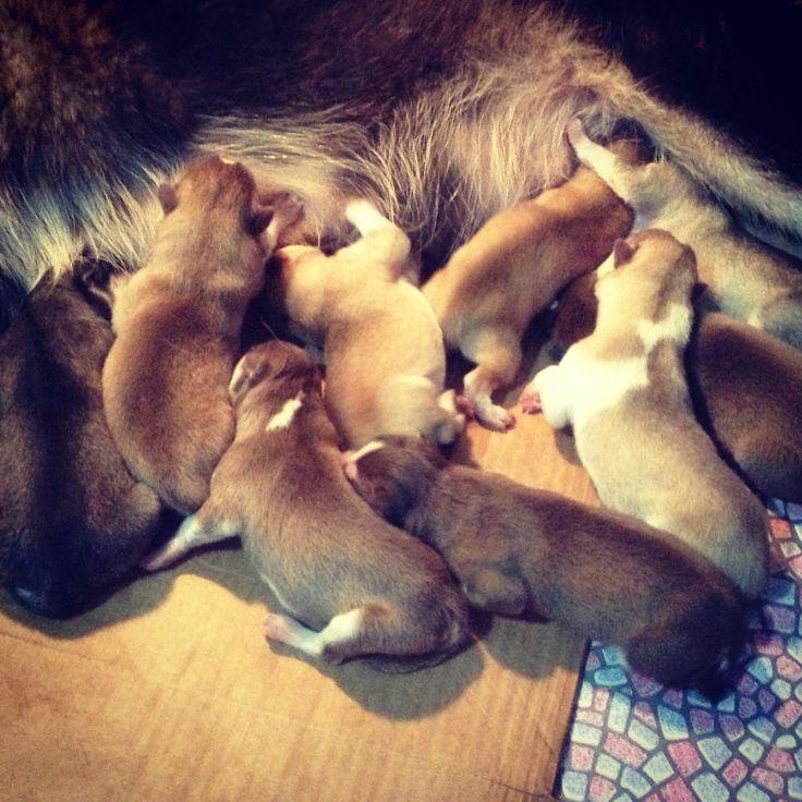 New Siberian Husky puppies born as of Nov 22, 2013