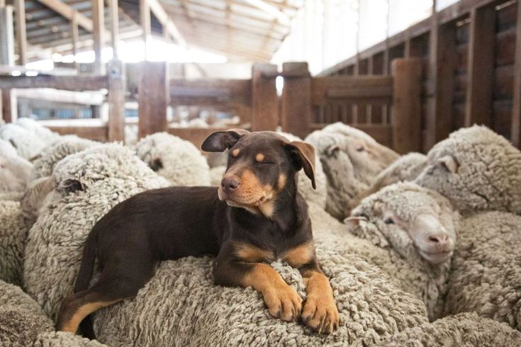 Kelpie and his wooly friends