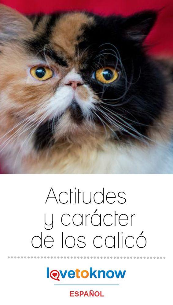 Actitudes Y Carácter De Los Calicó Lovetoknow Enfermedades De Gatos Gatos Razas De Gatos