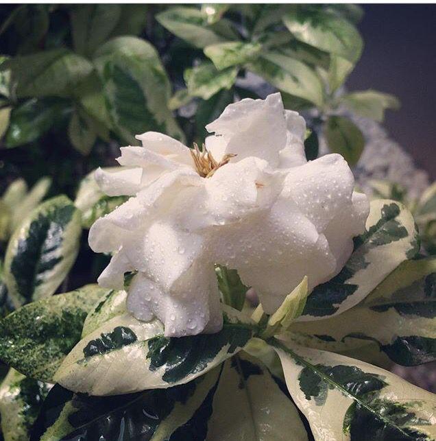 Gardenia variegated