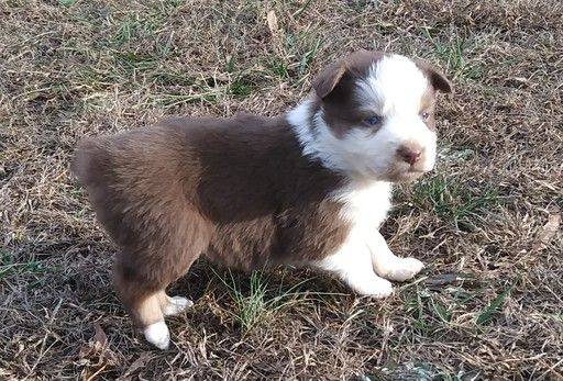 Australian Shepherd Puppy For Sale In High Point Nc Adn 58653 On