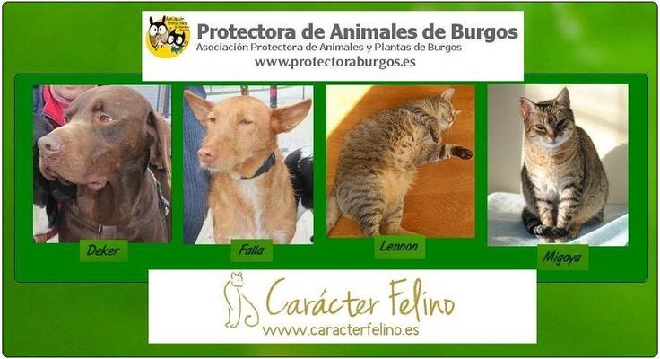 http://www.elbosquenatural.blogspot.com.es/p/adopta.html  Dedicamos el mes de mayo para difundir en nuestro blog a cuatro peludinos de dos protectoras diferentes. Los perros son de la Protectora de Animales y Plantas de Burgos: Deker; macho Falla; hembra www.protectoraburgos.es  Los gatos son de Carácter Felino: Lennon; macho Migoya; hembra  www.caracterfelino.es  Les deseamos mucha suerte para que encuentren un hogar que les haga felices.