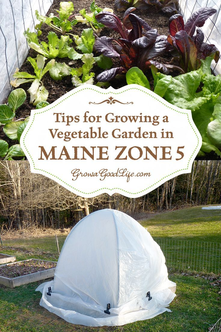 Zone 5 stretches from Maine to Missouri to Utah and even to Colorado. However, the local climates among these locations are all different. Each location has unique environmental factors that also affect the growing season. These factors include soil, number of frost-free days, rainfall amounts, summer heat levels, soil moisture, humidity, and day length.   Gardening Tips for Growing a Vegetables in Maine Zone 5   Grow a Good Life