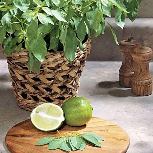 Basil LIME (Базилик) - Интернет-магазин - Адениум дома: от семян до растений. Выращивание и уход.