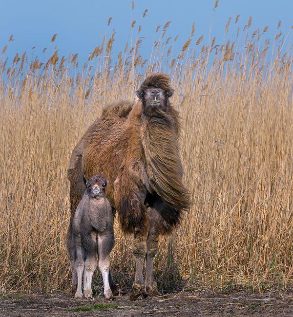 Семейный портрет фотография, семья, верблюжонок, Мама, милота