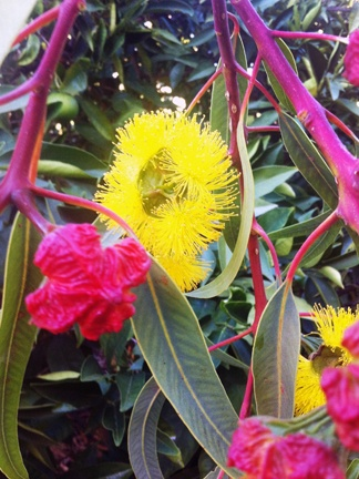 Eucalyptus erythrycorys or 'Illyarrie', red capped flowering gum