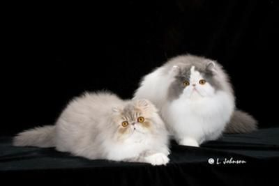 We are Persian cat breeders, running a CFA registered, PKD negative Cattery. Our goal is to raise happy healthy Persians kittens.  All our kittens are