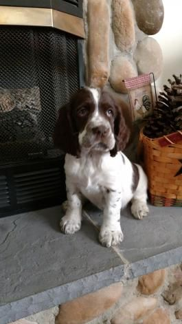 English Springer Spaniel Puppies for Sale | Lancaster Puppies