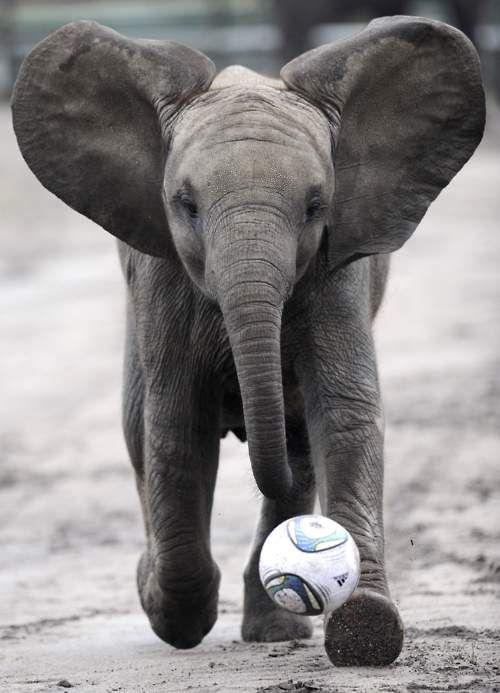 Elephant Soccer: Babies, Plays Soccer, Baby Elephants, Elephants Plays, World Cups, Plays Ball, Things, Funny Animal, Plays Football