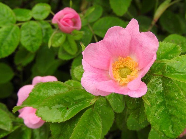 """Képtalálat a következőre: """"rosa villosa"""""""