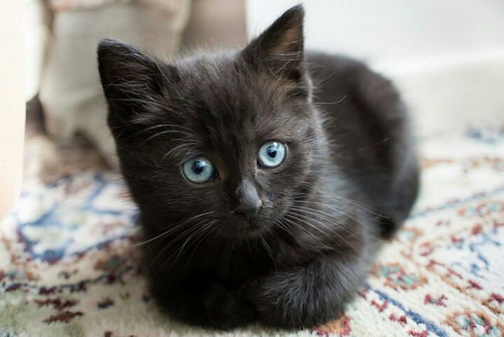 Little black kitty with blue eyes