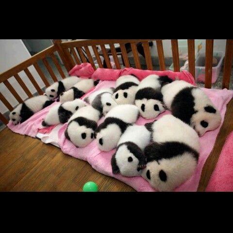 Lindos osos pandas bebes