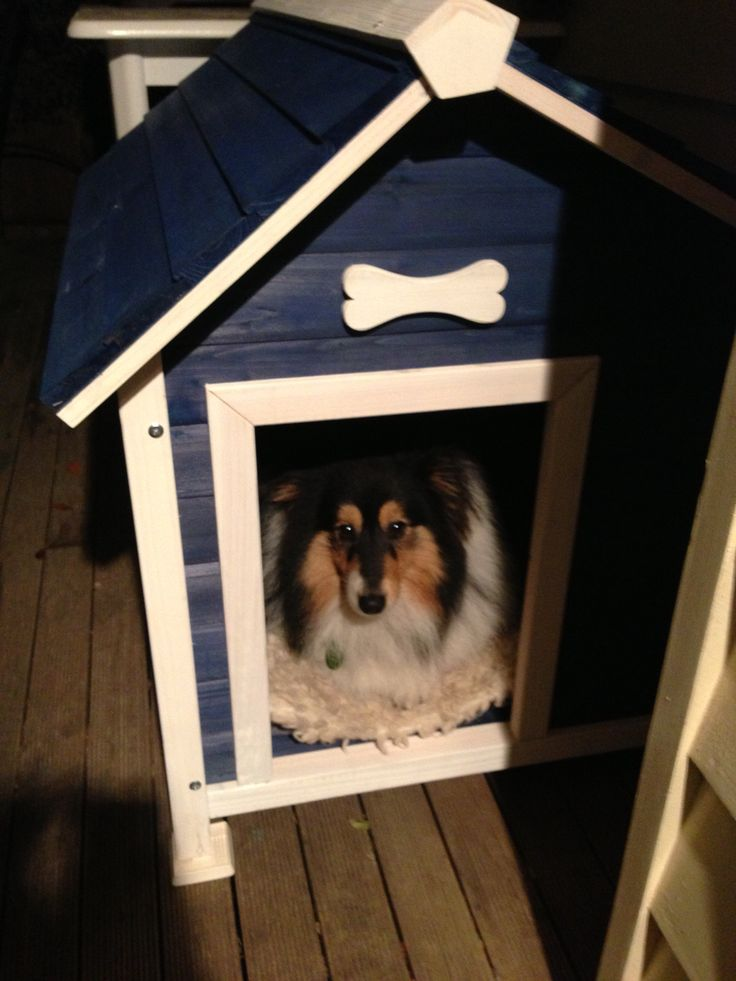 Flynn the Sheltie in his house
