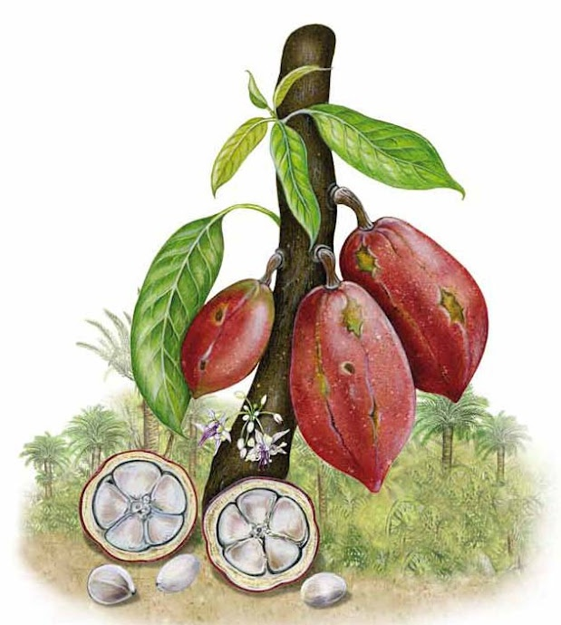 cacao tree. DOMORI  http://frulatti.gr/brands/domori-koybertoyra/