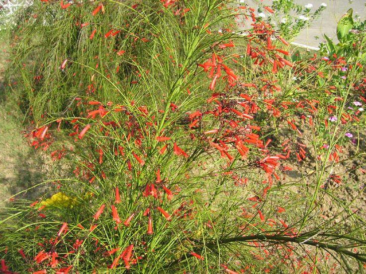 Firecracker plant coral plant garden pinterest for Philippine garden plants