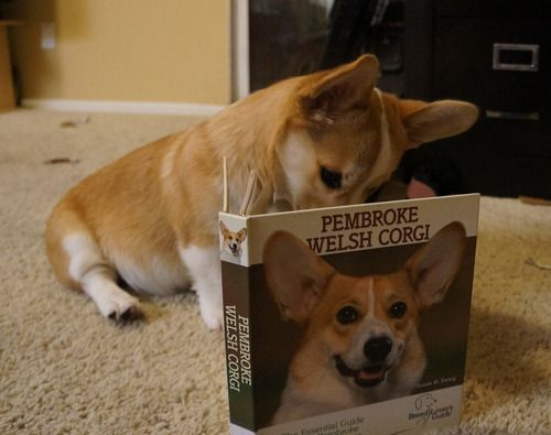 17 Best images about I love my corgi on Pinterest ...