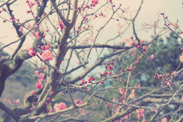 紅梅@栗林公園©摂理のア・ラ・カルト