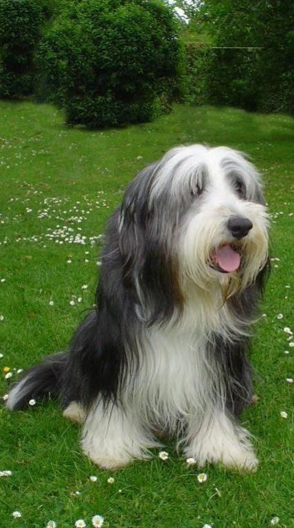 The Bearded Collie is an active, outgoing, intelligent, affectionate & sometimes boisterous dog who makes a great family pet for an active family. The Bearded Collie needs exercise, both physical and mental. Beardies are playful and like to jog, swim, wrestle, play Frisbee & go for brisk walks. They are happy to join their family in any activity. With what seems like boundless energy, they also enjoy agility, herding, obedience, and tracking. They love to work.