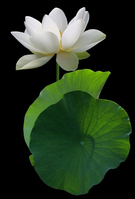 White lotus Flower and backlit leaves - DD0A6937-1000 | Flickr - Photo Sharing!