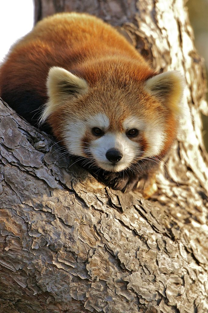 ˚Red Panda by conwest_john @ flickr