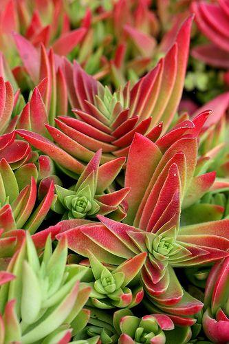 Crassula Red Pagoda #crassula #succulent