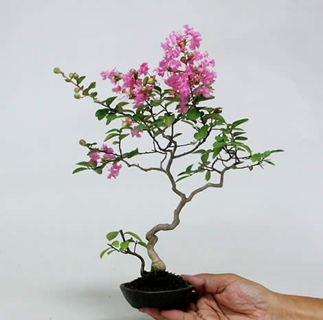 Mini-bonsai (shohin-bonsai or mame-bonsai) Guide by Kyosuke Gun and Sachiko
