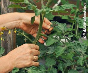 Elke week moet je de tomaten dieven: dat is het weghalen van de zijtakjes uit de bladoksels. Als je ze laat zitten groeien ze uit tot complete planten.  Haal ook de dode en gele bladeren weg.