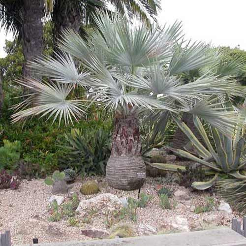 13 best images about palmiers on pinterest trees the o for Palmier d exterieur resistant au froid