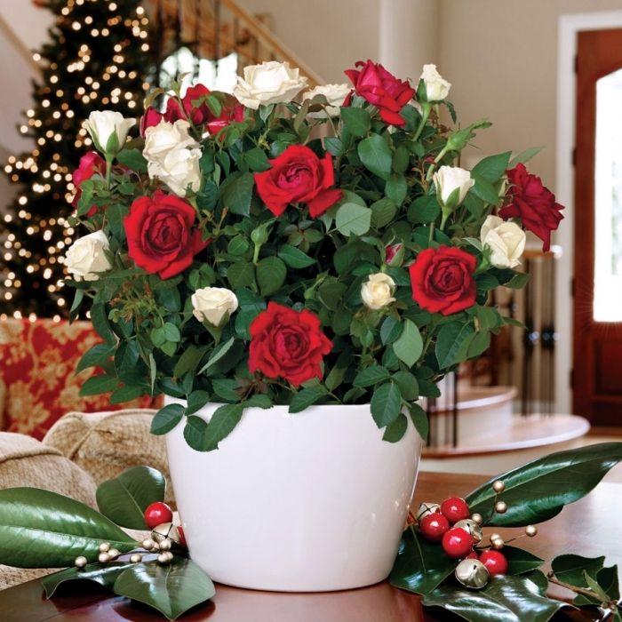 картинки с розами домашними обои картинки