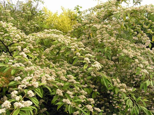 Cotoneaster rothschildianus agm heads of small white for Large flowering shrubs