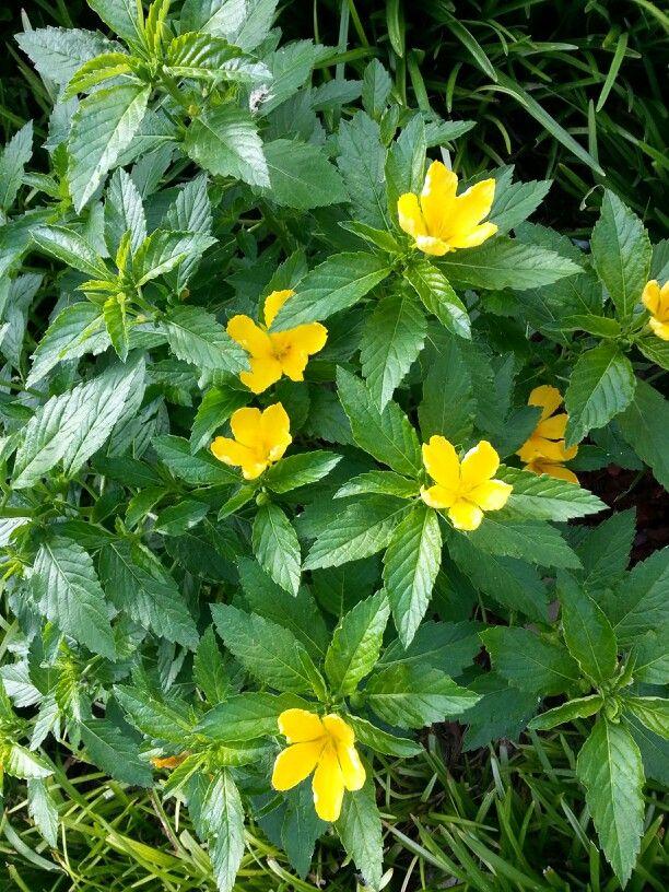 Turnera Ulmifolia. Also known as Yellow Buttercup Bush.