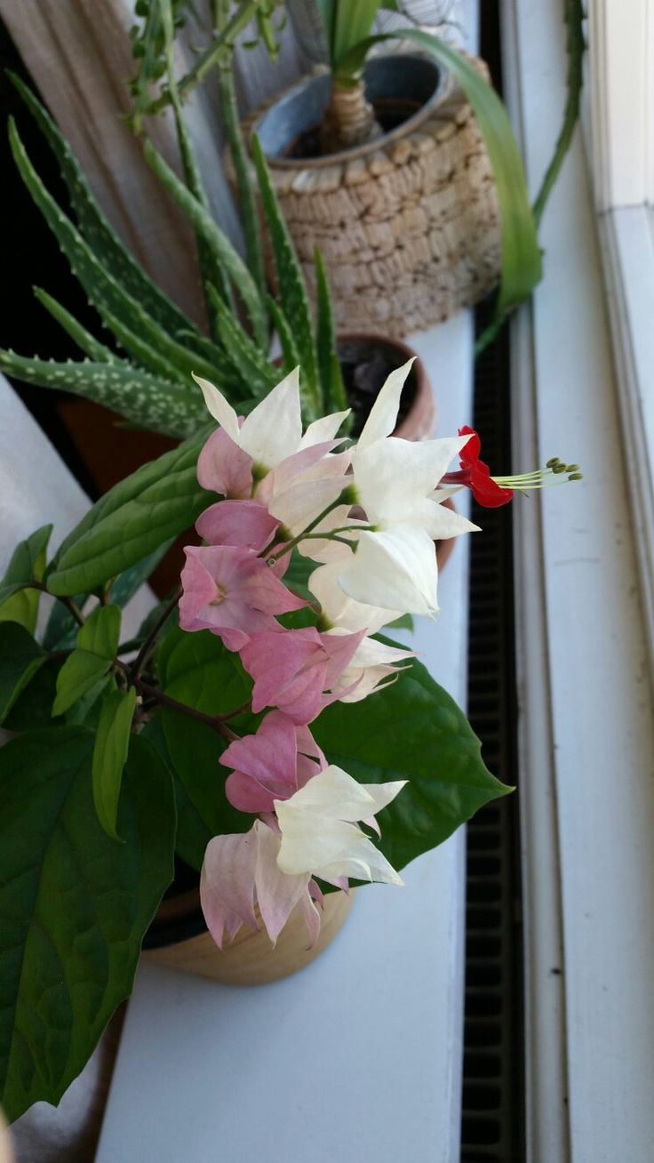 Clerodendrum Thomsoniae (the bracts turn pink after loosing their flowers)