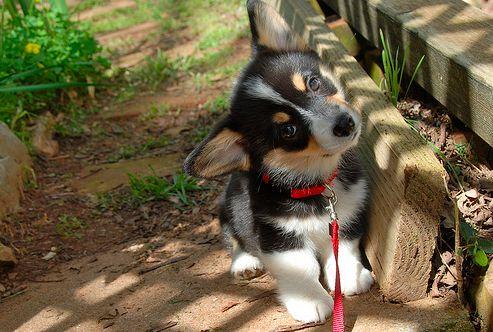 AdorableLittle Puppies, Cutest Dogs, Pets, Corgis Puppies, Adorable, Box, Baby Puppies, Animal, Pembroke Welsh Corgis