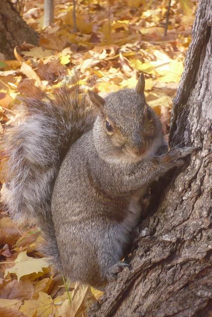 Squirrel in Fall by pegase1972, via Flickr: Animals Squirrels, Animal Squirrels, Flickr, Fall Squirrels, Sweet Squirrels, Fibonacci Squirrels, Photo, Ekorn Squirrels, Ecureuil