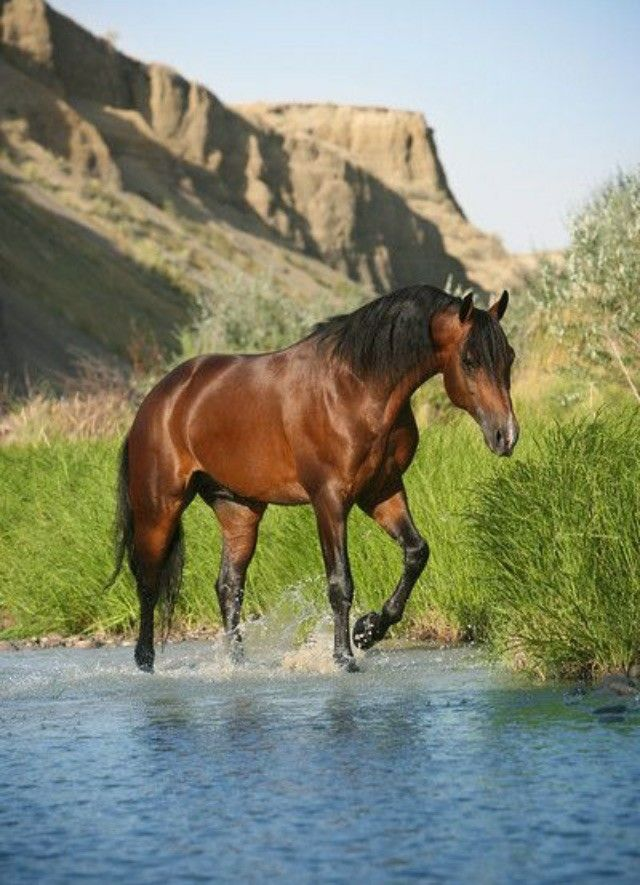 Horse walking through the cool water stream of the desert