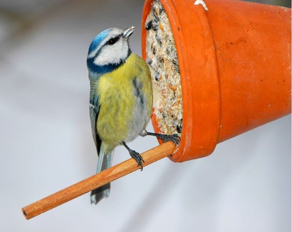 Bastelanleitung: Weihnachtsgeschenk für Singvögel. Wenn es im Winter richtig frostig und verschneit ist, freuen sich die Singvögel im Garten auch über ein Geschenk.