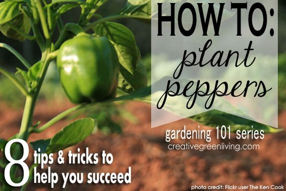 Gardening 101: How to Plant Peppers@mommabear125