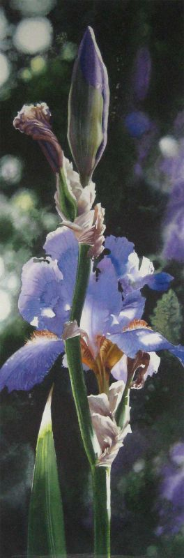 Naomi Tydeman RI, Purple Iris