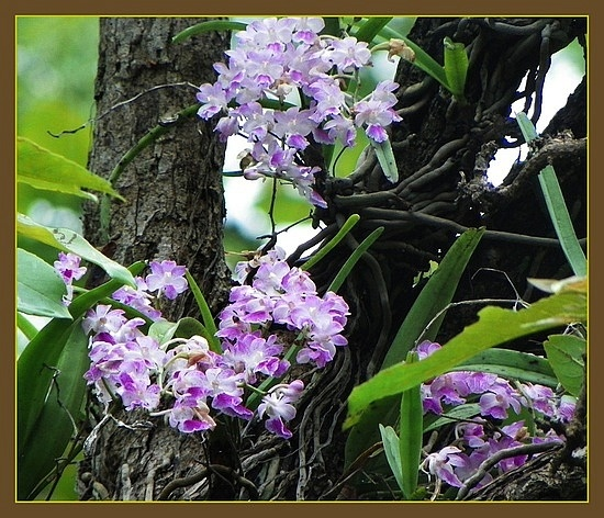 Wild rainforest Orchid