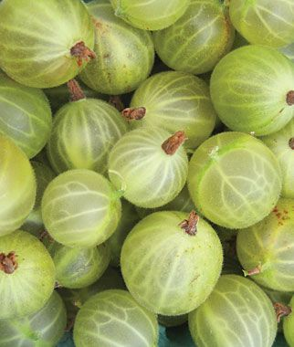 'Gooseberry' Pixwell. Excellent for jams, jellies and pies. Shop now at Burpee.com.