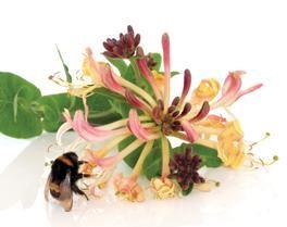 Madressilva_A planta que combate a expectoração, a tosse e a asma