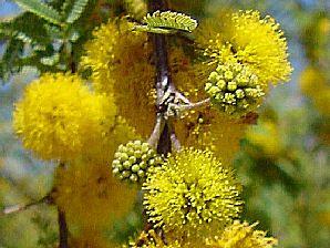 Sweet Acacia Blossom