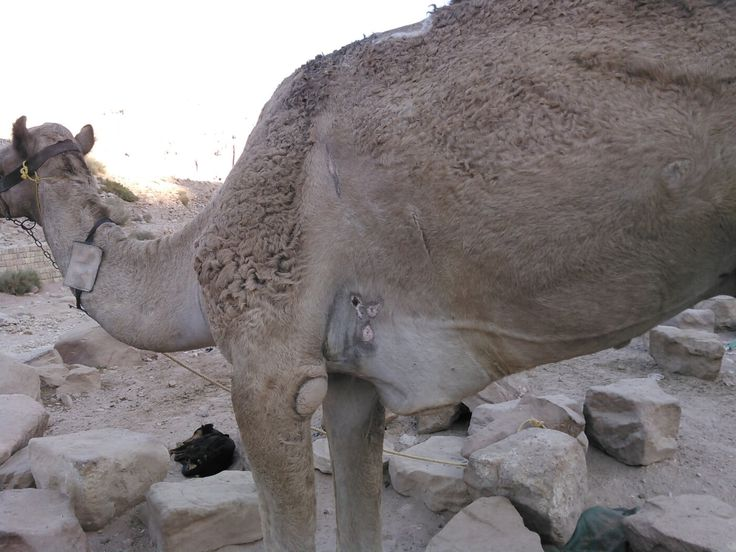 PETA Asia's exposé of working animals in Petra reveals the terrible suffering of horses, mules, donkeys, and camels forced to carry tourists under the hot desert sun.
