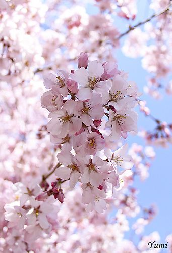 Cherry blossoms incorporated in design and real plants