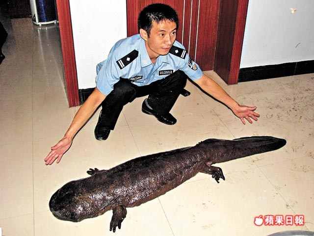 chinese giant salamander essay The famous yin and yang symbol of opposites is thought to have originally been two chinese giant salamanders, harmoniously intertwined  view image of underneath a giant chinese salamander .